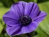 Anemone (G.Sartori.510) Tags: pentaxk5 smcpentaxda60250mmf4edifsdm anemone