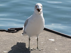 Feed Me, Human! (Itinerant Wanderer) Tags: canandaigualake citypier seagull newyorkstate fingerlakes