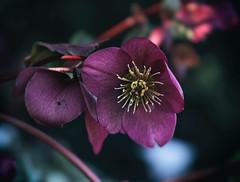 purple hellebore (annapolis_rose) Tags: vancouver flower hellebore purple