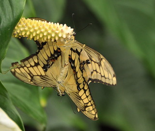 Voortplanting / Reproduction .....(Papilio Thoas) (1)
