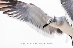 Laughing Gulls (srimanthks) Tags: wildlife nature birds gull white flight wings