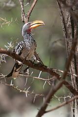 24102007-IMG_4630 (mg photographe) Tags: oiseaux birds sauvage namibia africa afrique nature animaux