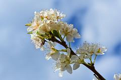 White Serenity (cengizskpl) Tags: nature flowers white blue clouds sky grouptripod nikon7200 nikkor1855