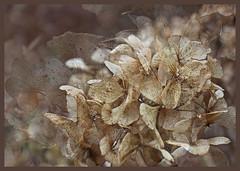 hydrangea (Jocawe) Tags: canoneos60d 1755mm availablelight naturallight hydrangea beige brown closeup