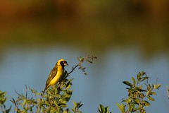 a weaver in the Magaliesburg (peet-astn) Tags: askarigamelodge magaliesburg askari lodge southafrica march 2018 weaver bird yellow black
