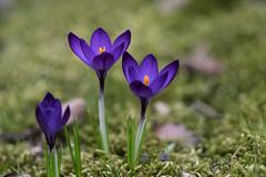 Crocus (michel1276) Tags: konica 13525 vintagelens manualfocus crocus flower makro macro blume frühling spring