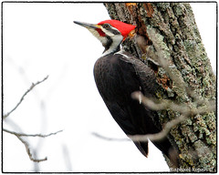 Pileated woodpecker on carpenter ant hole (RKop) Tags: d500 nikkor600f4evr 14xtciii tripod californiawoodspark cincinnati ohio raphaelkopanphotography