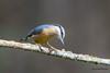 En toute simplicité (Jacques GUILLE) Tags: sittelletorchepot domainedesoiseaux oiseau 09 ariège eurasiannuthatch mazères passériformes sittaeuropaea sittidés bird calmont occitanie france fr