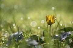"""""""Bouton d'or"""" (martine_ferron) Tags: boutondor rosée matin printemps fleur ficairefausserenoncule"""