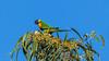 Rainbow Lorikeet (Trichoglossus haematodus) (Arturo Nahum) Tags: australia aves animal arturonahum ave airelibre birdwatcher bird birds wildflife wild nature naturaleza naturephotography pajaro pajaros