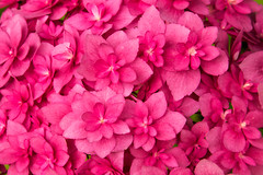 Too much pink (AlmightyWorm) Tags: flowers garden plants botanical colors nature park pink macro bright background wallpaper chaos bloom