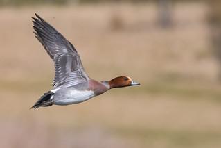 Widgeon duck in flight