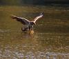 Caught A Fish (John Kocijanski) Tags: immaturebaldeagle baldeagle eagle bird birdofprey water fishing wings flying flight animal nature wildlife canon70300mmllens canon7d