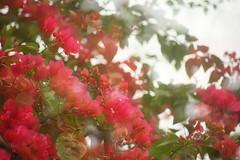 NSM05000 (rickytanghkg) Tags: hongkong sony a7ii sonya7ii 70210mm minolta70210mm minolta flower