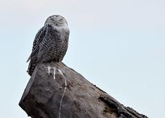 DSC_0184_edit (Hanzy2012) Tags: toronto ontario wildlife canada bird nikon d500 afsnikkor500mmf4difedii owl snowyowl buboscandiacus