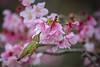 2018 Cherry Hummer 11 (Tongho58) Tags: cherryblossoms cherry huntingtonbeach hummer hummingbirds tree flowers
