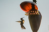 Colibri d'Helen (Mellisuga helenae)     Zunzuncita pour les Cubains (francisaubry) Tags: cuba colibri nikon nikkor 300mm nikonflickraward