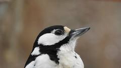 Great Spotted Woodpecker ♀ (Dendrocopos major) (eerokiuru) Tags: greatspottedwoodpecker gsw dendrocoposmajor buntspecht suurkirjurähn woodpecker bird p900 nikoncoolpixp900