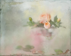 Rose in a pot (BirgittaSjostedt) Tags: rose still card flower gift greetings romantic beauty text texture un