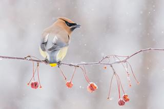 Waxwing under snow