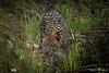 "ZA - Leopard approaching (Ineound) Tags: fz1000 southafrica südafrika ""spiegelblickde"" spiegelblickde spiegel blick sanctuary big5 wildlife wild life leopard cat"