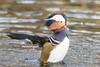 20171217_Vincennes_Canard mandarin (thadeus72) Tags: aixgalericulata anatidae anatidés ansériformes aves birds canardmandarin mandarinduck oiseaux