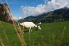 Grazing in the Sun (EP Diederiks) Tags: switzerland schweiz alpen alps bergen berge sky clouds goat grass green summer sommer berner oberland bernese nature landscape natur natuur diemtigtal diemtigen niesen animal vieh hiking wandern