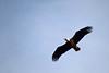 Blurred Bird (MTSOfan) Tags: eagle wildeagle baldeagle flying flight wings