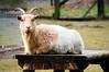 Keep smiling :-) (Gitta Martin) Tags: streichelzoo tierpark sonyalpha57 holland niederlande lächeln freundlich bocksheep