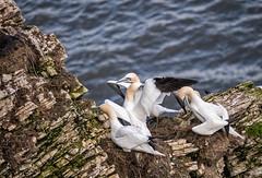 Bempton Cliffs: Gannets (Adrian.W) Tags: bempton bemptoncliffs rspb flamborough bridlington yorkshire gannets seabirds birds panasonic lumix gx80 100300mm