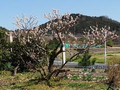 Cherry blossoms (桜) (Greg Peterson in Japan) Tags: shiga cherryblossoms 湖南市 japan plants 植物 桜 plumblossoms flowers bodaiji konan 梅 花 滋賀県 shigaprefecture