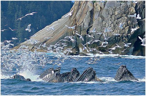 28 - Humpback Whales Amid Gull Frenzy