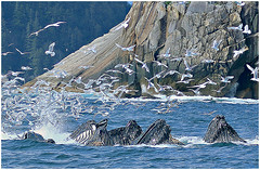 28 - Humpback Whales Amid Gull Frenzy