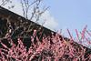 城南宮|京都 (KaguraYanki) Tags: canon650d kyoto japan 京都 城南宮 梅花 梅花雨 枝垂梅 しだれ梅 椿まつり 源氏物語 花見 花之庭 photography 日本庭園