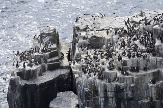Isle of May NNR -  auks on cliffs