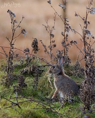 Little rabbit. (jameskearsley1) Tags: rabbit bunny bunnyrabbit easter easterbunny cute adorable beautiful mammal fairburnings fairburn juvenile capture shot nikon nikonphotography nikond3300 tamron150600mm tamron