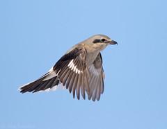 Northern Shrike (Nick Saunders) Tags: northernshrike shrike hover hovering hunting wings saskatchewan canada birding bird birds