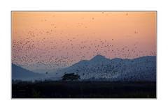 Soirée entre amis / Suncheon - Corée (PtiteArvine) Tags: baiedesuncheon coréedusud nature oiseaux paysage sunset coucherdesoleil crépuscule montagnes asie