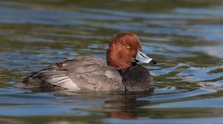 Redhead duck Drake Reid park az.