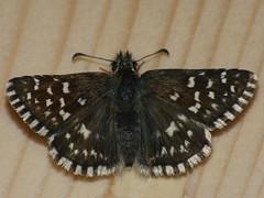 Pyrgus malvae - Grizzled skipper - Толстоголовка малая мальвовая (Cossus) Tags: hesperiidae pyrginae pyrgus пестово 2009 толстоголовка skipper