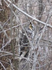 Long-eared Owl 1 (D. S. Hałas) Tags: halas hałas canada ontario haltonregion haltoncounty oakville nipegontrail chordata sarcopterygii aves strigiformes strigidae asiootus longearedowl owl bird