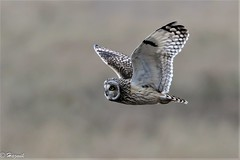 Short-eared Owl (Knutsfordian) Tags: shortearedowl owl asio flammeus
