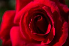 Pliegues del deseo (pepsamu) Tags: rose rosa tralee irlanda ireland park kerry ciarraí eire flower flor pliegues deseo desire macro macrophotography red rojo bermejo traleetownpark macrofotografía bermellón light luz luznatural outdoor 2017 canon canonistas naturallight naturallighting daylighting sunlight daylight