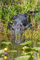American Alligator (Alligator Mississippiensis) (Frode Jacobsen) Tags: americanalligator alligatormississippiensis reptile crocodilian frodejacobsen florida canoneos7dmarkii canonef30040lisusm
