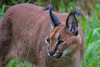 Caracal 2, Tenikwa Wildlife Rehabilitation Centre, Plettenberg Bay (Peter Cook UK) Tags: garden route wildlife caracal bay south tour plettenberg centre rehabilitation africa tenikwa