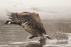 Composer (brendon_curtis) Tags: canadian goose geese avian flight landing snow blizzard snowing nature natural animal animals bird birds water pond overcast canon 7dmkii eos usm 500mm f4l is 14xiii teleconverter