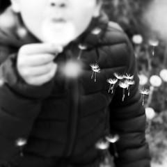 Faire des voeux (nathaliedunaigre) Tags: noiretblanc nb blackwhite bw détails details enfance childhood dandelion pissenlit graines carré square