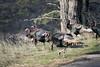 Wild Turkeys (Jeff Mitton) Tags: wildturkeys heilranch bouldercountyopenspaceandmountainparks boulder colorado earthnaturelife wondersofnature