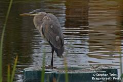 DSC_0672_Juvenile blue heron (sdttds) Tags: greatblueheron ardeaherodias bird davis wetlands northdavispond wildlife