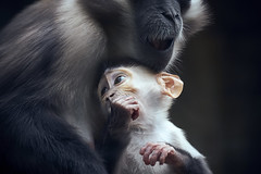 Mother and child (elgunto) Tags: monkey familly apes zoo barcelona cute almosthumans eyes child mother animals sonya7 color sonydt55300 zoomlens apscmode